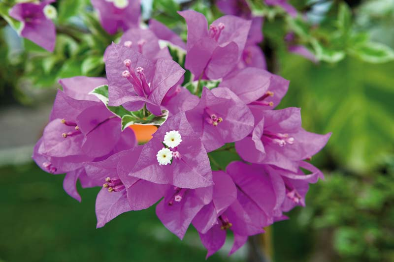 Bouganvilla Californiana