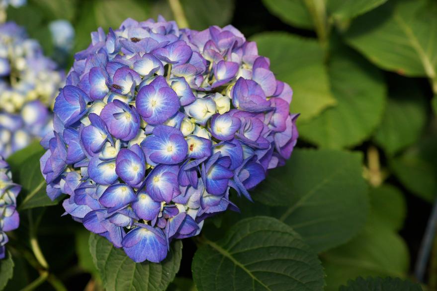 ortensia blu copia